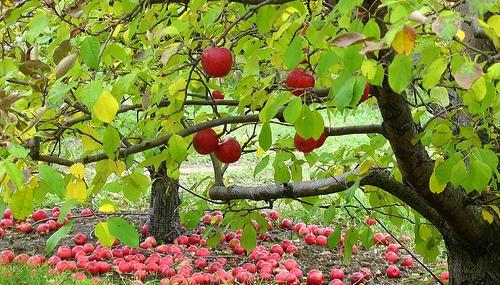 FruitTree1