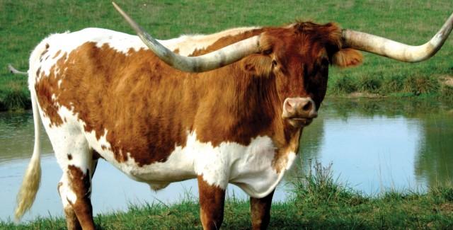 Texas-Longhorn-880x400