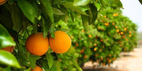 orange-grove